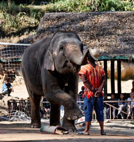 Thailand, Chiang Mai, asian elephants performance