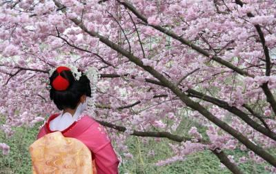 יפן - פריחת הדובדבן
